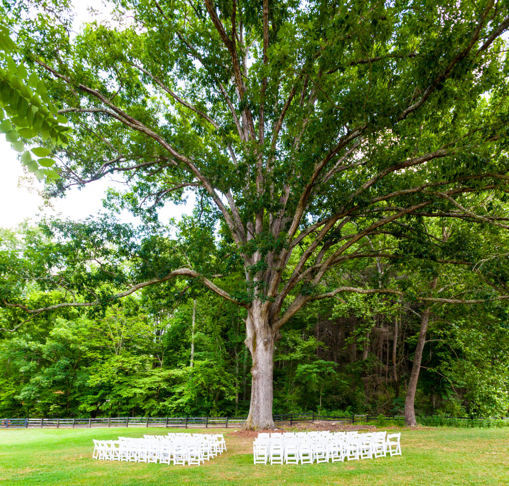 Huge oak tree over 300 feet. Uniform rows of white chairs line where the wedding ceremony will take place.