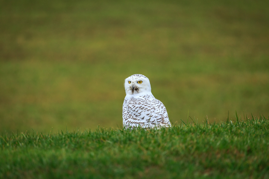 Snowy owl sitting in a green field looking at the camera