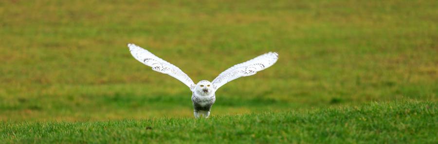 Snowy owl spreading its wings to take flight