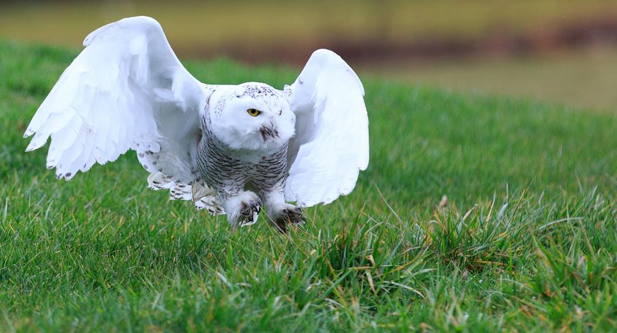Snowy Owl flying towards prey on the ground