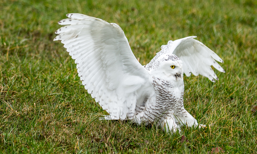 Snowy Owl landing with talons extended