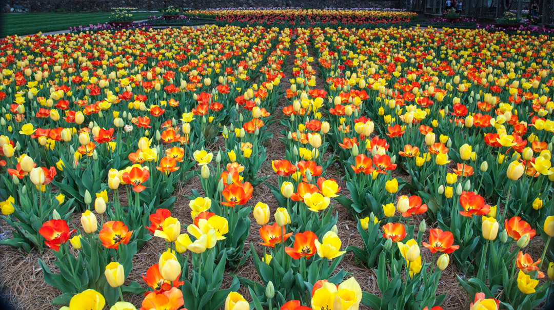 View of tulips in bloom at Biltmore Estate in Asheville, NC