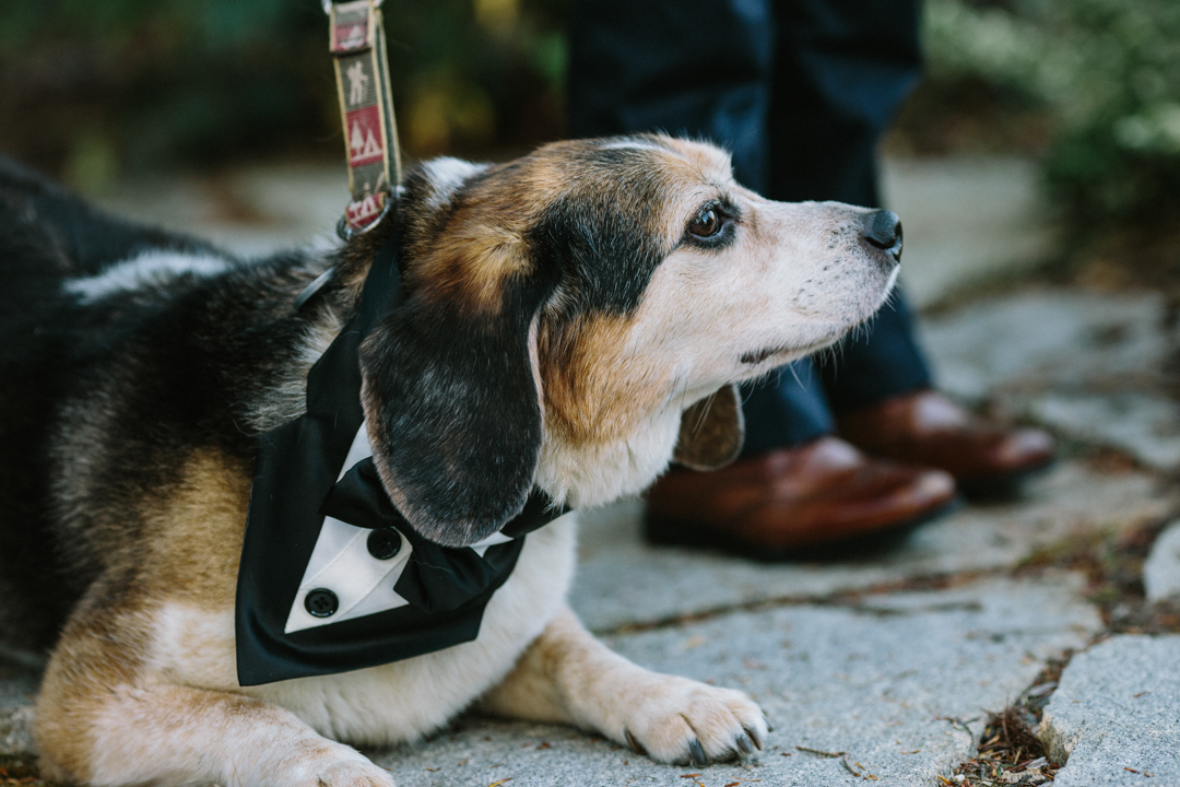 The bride and grooms brown and black old dog looking out unto the crowd wearing his tuxedo
